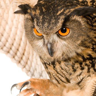 Eurasian eagle owl - bubo bubo (22 месяца) изолирован