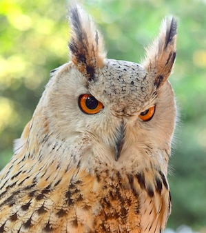 Eurasian eagle-owl bubo bubo close-up beautiful birds of thailand