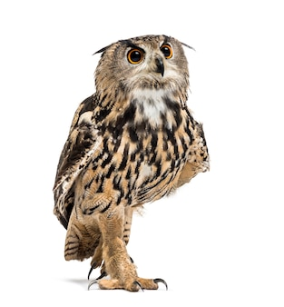 Eurasian eagle-owl, bubo bubo, is a species of eagle-owl walking against white