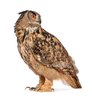Eurasian eagle-owl bubo bubo a species of eagle owl standing isolated