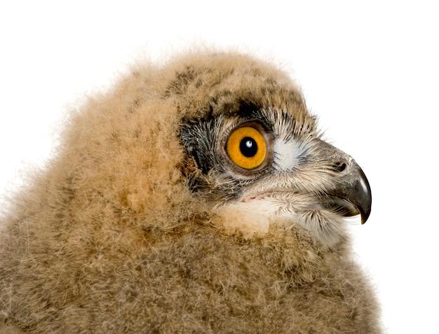 Eurasian eagle owl - bubo bubo on a white isolated