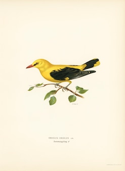 Eurasian golden oriole male (Oriolus oriolus bird) illustrated by the von Wright brothers.