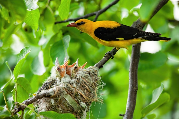 Eurasian golden oriole with yellow and black plumage breeding
