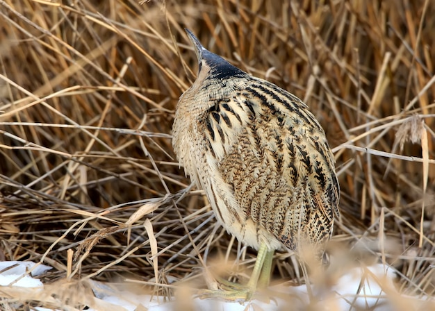 The eurasian great bittern against thick reed