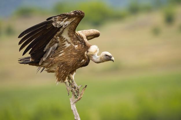 Евразийский грифон взлетает с сухого дерева