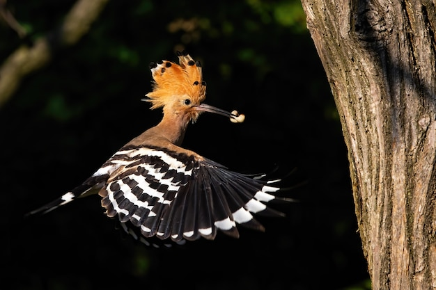Eurasian hoopoe flying and holding a nymph of bug in beak in forest at sunset
