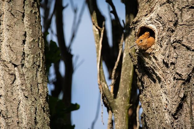 Eurasian hoopoe peeking from hole in summer nature