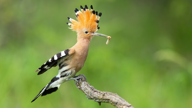 Eurasian hoopoe, upupa epops, landing on a twig with open crest in summer nature.
