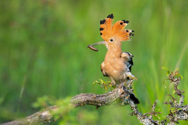春の自然の中で茂みに座っているヤツガシラ、upupaepops。昆虫を保持している紋章を持つオレンジ色の鳥