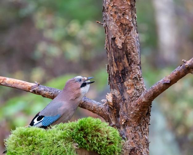 Uccello eurasiatico della ghiandaia che mangia i semi vicino ad un albero