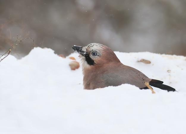 Евразийская сойка любит купаться в свежем снегу