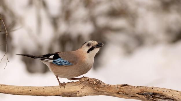 冬の森のユーラシアのジェイgarrulusglandarius。