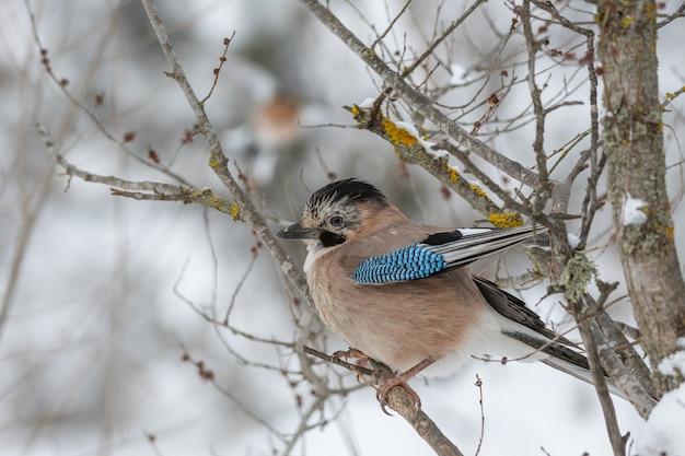 カケスgarrulusglandariusは、冬の森の木の枝に座っています。