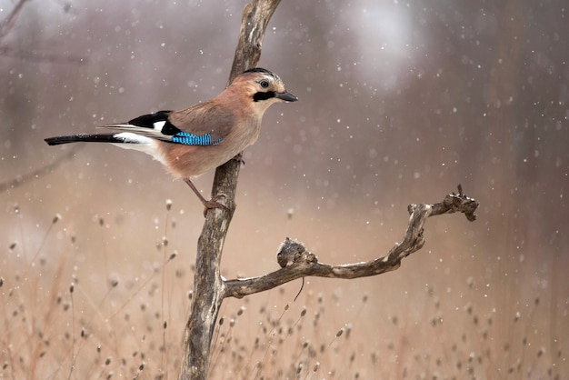 Eurasian jay (garrulus glandarius) in the snow sits on the stick with prey