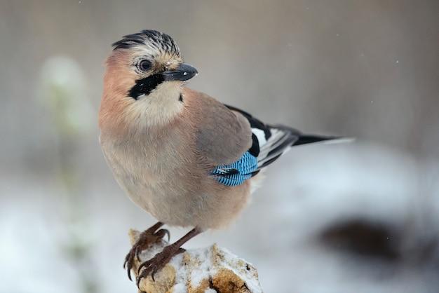 Eurasian jay (garrulus glandarius) on the winter bird feeder.