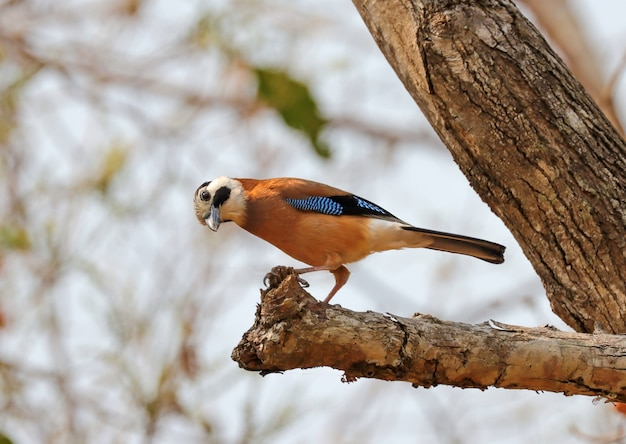 Eurasian jay perched on a branch