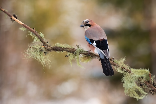 秋の自然の中で枝に座っているユーラシアのジェイ