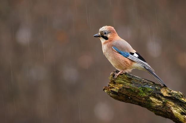 秋の雨の中で濡れた枝に座っているカケス。