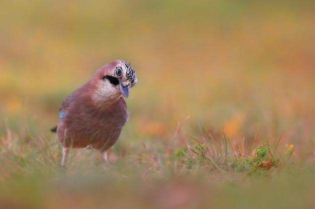 秋の自然の中で牧草地に立っているカケス。