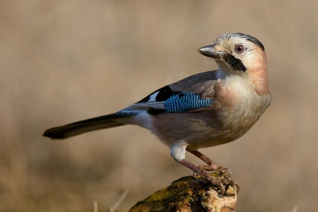 Eurasian jay on the winter bird feeder