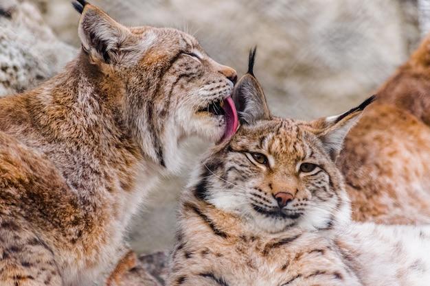 Eurasian lynx (lynx lynx) cleaning other lynx with the tongue