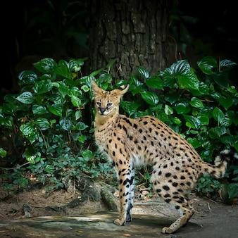 Евразийская рысь (lynx lynx)