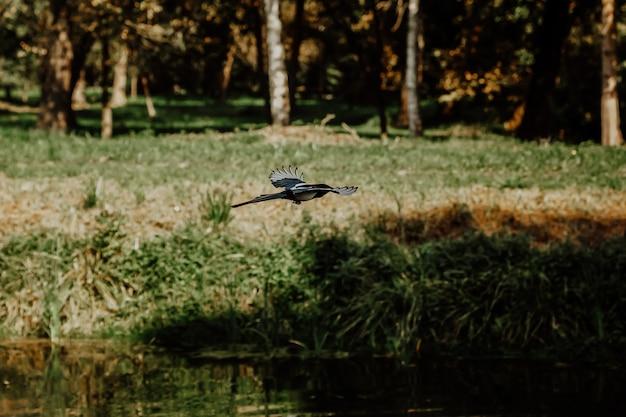 ユーラシアカササギまたは一般的なカササギが川の近くで飛ぶ