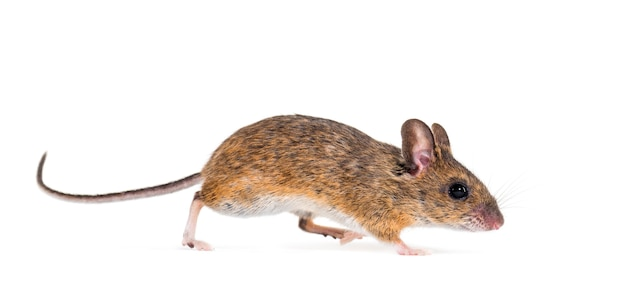 Евразийская мышь, вид apodemus, перед белым