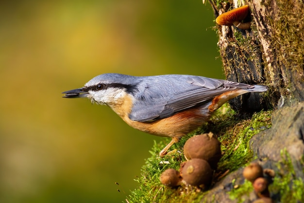 Eurasian nuthatch holding a sunflower seed in a beak in garden during spring season.