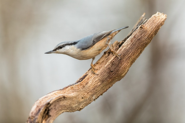 Eurasian nuthatch, sitta europaea, sitting on dead branch, looking left. vertical image