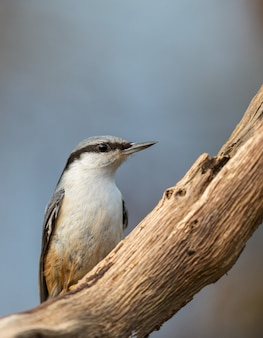 Eurasian nuthatch sitta europaea sitting on dead branch, vertical image