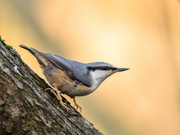 Eurasian nuthatch sitta europaea sitting on a tree trunk, vertical image