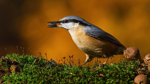 Eurasian nuthatch standing on moss in autumn