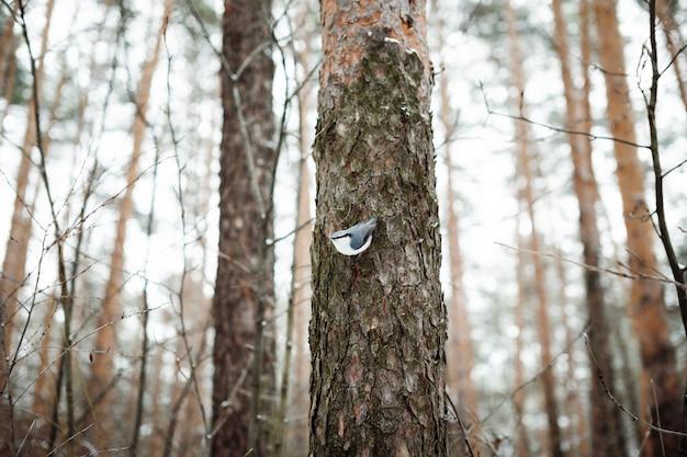 Eurasian nuthatch on a tree trunk