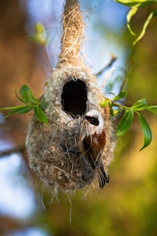 Eurasian penduline tit building nest hanging on a twig of tree in spring nature