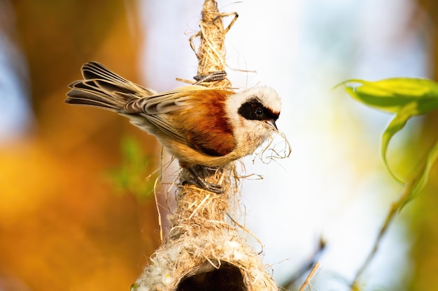 Eurasian penduline tit sitting on a nest hanging from a tree branch in spring.