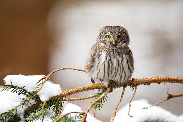 Eurasian pygmy owl, glaucidium passerinum, sitting on twig in winter