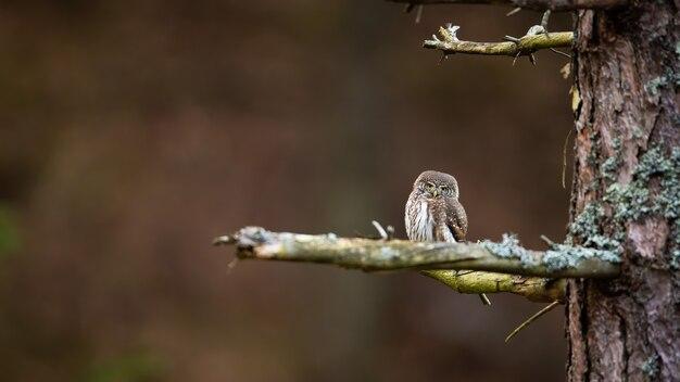 Eurasian pygmy owl resting on tree
