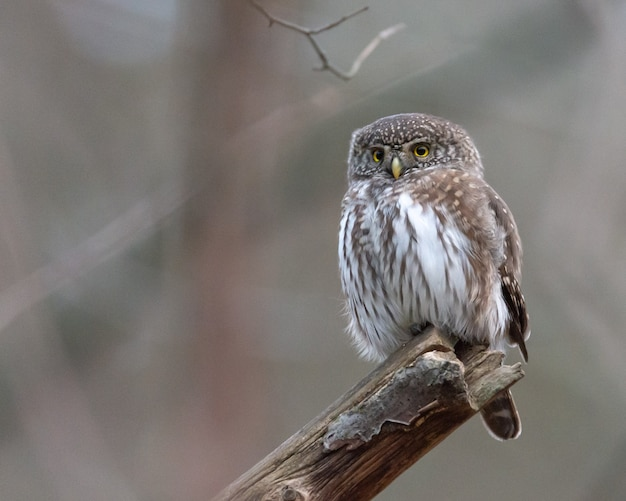 An eurasian pygmy owl sits on a branch in sweden.