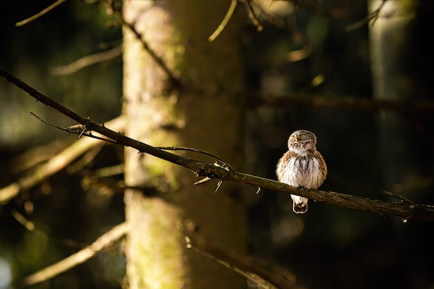 Eurasian pygmy owl sitting on a branch in forest at sunrise