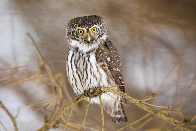 Eurasian pygmy owl sitting on branch in winter nature