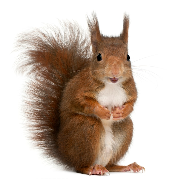 Eurasian red squirrel, sciurus vulgaris, in front of white background