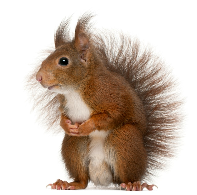 Eurasian red squirrel, sciurus vulgaris, in front of white background