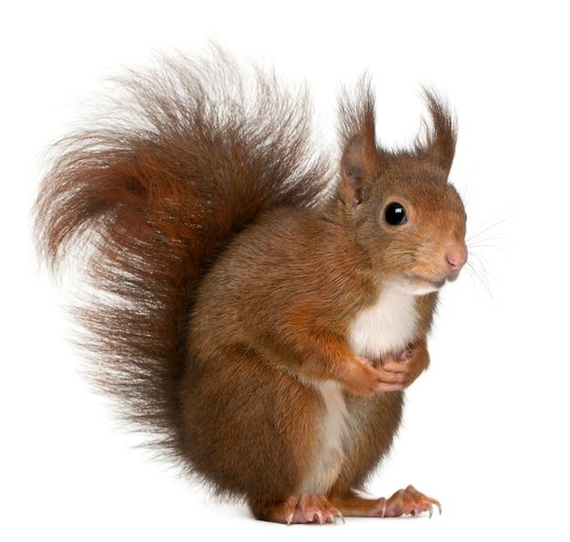 유라시아 붉은 다람쥐, sciurus vulgaris, 흰색 배경 앞