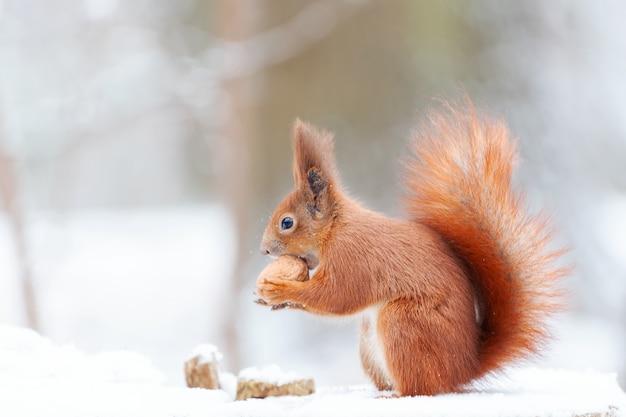 Евразийская рыжая белка (sciurus vulgaris) в снегу. милая рыжая белка смотрит в зимнюю сцену