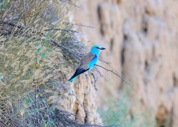 Eurasian roller sits on a dry bush near his nest amid a blurred clay cliff