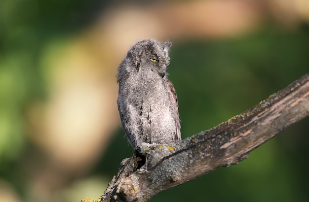 유라시아 스코프 올빼미 병아리는 개별적으로 그리고 함께 촬영됩니다. 새들은 부드러운 저녁 태양 광선에 흐린 배경에 대해 나무의 마른 가지에 앉아 있습니다.