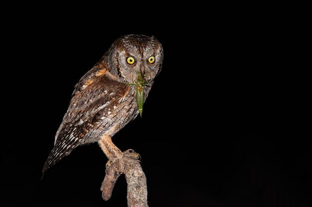 Eurasian scops owl holding green bushcricket in beak while sitting on branch
