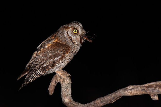Eurasian scops owl perched on branch and feeling itself with brown bushcricket
