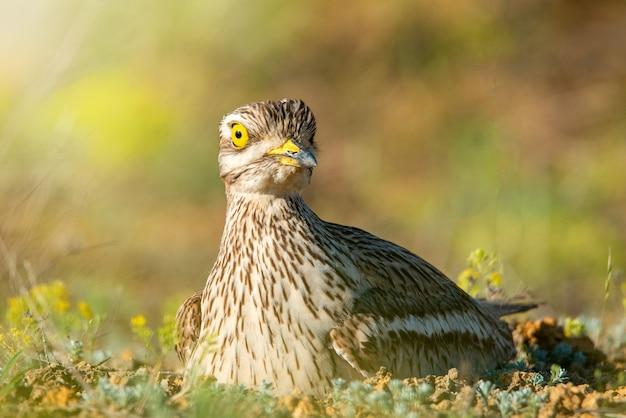 Евразийский кроншнеп (burhinus oedicnemus) сидит на гнезде и смотрит